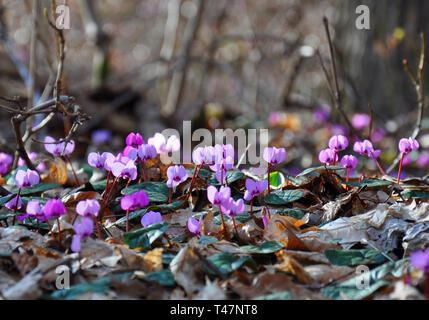 Spring blooms of pink cyclamens, Cyclamen hederifolium ( ivy-leaved cyclamen or sowbread ) in the forest - Stock Photo