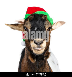 Head shot of funny brown pygmy goat wearing a red and green elf hat. Looking straight at camera. Isolated on white background. - Stock Photo