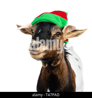 Head shot of funny brown pygmy goat wearing a red and green elf hat. Looking straight at camera side ways. Isolated on white background. - Stock Photo