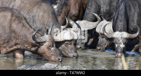 African buffaloes (Syncerus caffer), adults, males and females, in muddy water, drinking at a waterhole, Kruger National Park, South Africa, Africa - Stock Photo