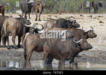 African buffaloes (Syncerus caffer), herd standing at a waterhole, alert, Kruger National Park, South Africa, Africa - Stock Photo
