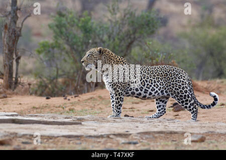 African leopard (Panthera pardus pardus), adult male at dusk, standing at a waterhole, alert, Kruger National Park, South Africa, Africa - Stock Photo