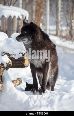 Cute black canadian wolf is standing on a white snow. Canis lupus pambasileus. Animals in wildlife. - Stock Photo