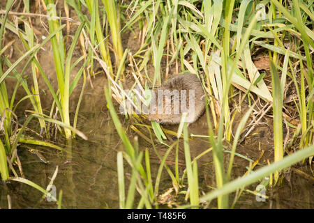 A wild, non captive water vole, Arvicola amphibius, on the banks of the Dorset Stour River in Gillingham Dorset England UK GB in April. The population - Stock Photo