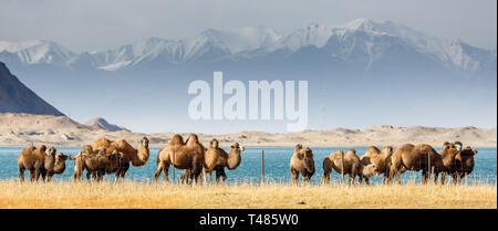 Herd of grazing camels at Lake Karakul with Pamir Mountains in the background (Karakorum Highway, Xinjiang Province, China) - Stock Photo