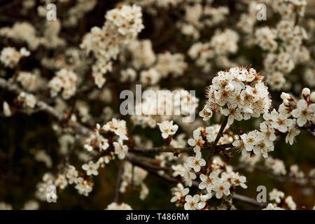 Hawthorne hedge in blossom during an English spring, Surrey, England, United Kingdom, Europe - Stock Photo