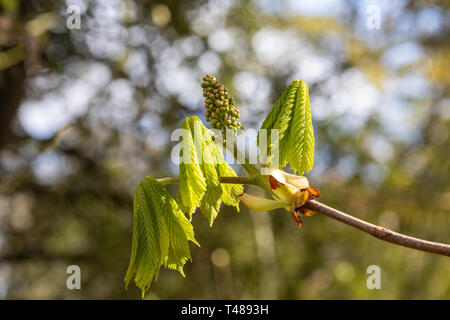 Aesculus Hippocastanum - common Horse Chestnut new spring leaves and flower bud against a blurred background - UK - Stock Photo