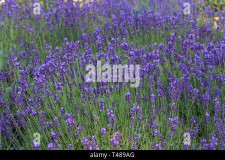Lavender bushes closeup on sunset. Sunset gleam over purple flowers of lavender. - Stock Photo