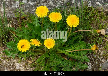 Löwenzahn mit gelber Blüte und grünen Blättern - Stock Photo