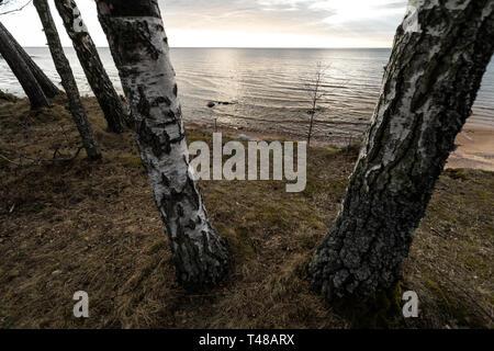 Birch trees on a beach hill on the Baltic Sea - Veczemju Klintis, Latvia - April 13, 2019 - Stock Photo