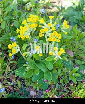 Cowslips Primula veris  growing in an English country garden a native British wild flower - Stock Photo