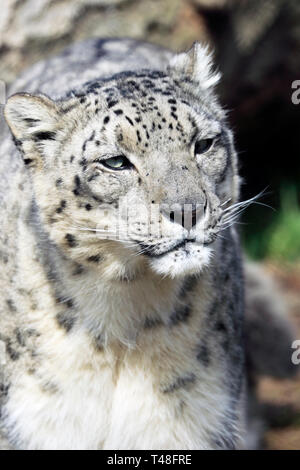 Snow Leopard, Panthera uncia, Turtle Back Zoo, West Orange, NJ, USA - Stock Photo