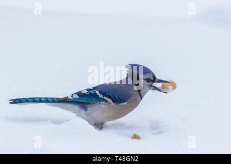 blue jay winter in freezing rain - Stock Photo