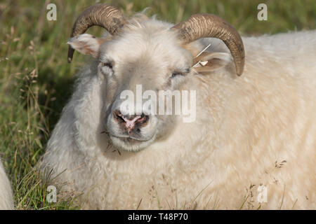 Cute big white ram smiling sheep with long horns lying in the field and looking with interest - Stock Photo