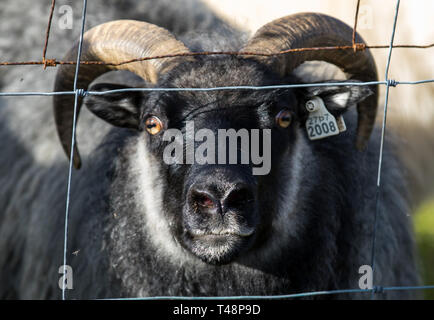 A big black ram sheep with long horns and yellow eyes looking out from the fence. Iceland - Stock Photo