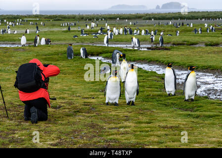 Photographer in red coat with black backpack kneeling and taking pictures of King penguins on Salisbury Plain, South Georgia - Stock Photo