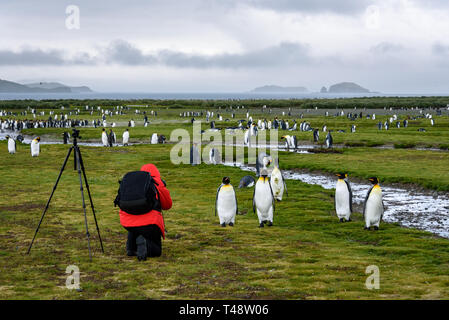 Photographer in red coat with black backpack and tripod kneeling and taking pictures of King penguins on Salisbury Plain, South Georgia - Stock Photo