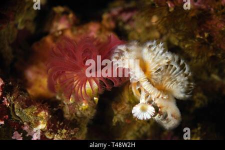 Serpula columbiana - Stock Photo