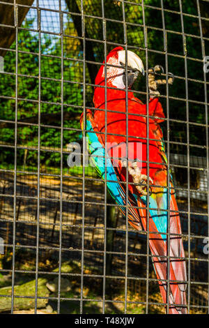 red and green macaw parrot sitting against the fence of the aviary, tropical bird from America, popular pet in aviculture - Stock Photo