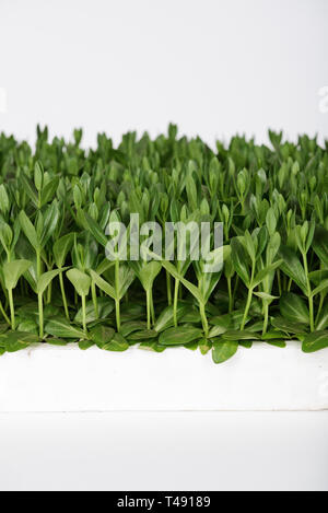 Lisianthus (Eustoma Grandiflorum) seedlings plants for professinal cut flowers production in greenhouse - Stock Photo
