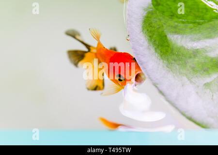 Orange Oranda fish surfacing in open fish tank. - Stock Photo