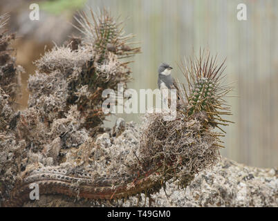 Andean sparrow and cactus on Isla Damas, Humboldt Penguin Reserve, Punta Choros, Chile - Stock Photo