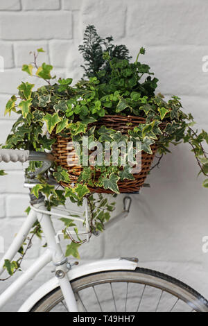 White Bicycle with ivy basket outside of Tudor Rose cafe, New Street, Barbican, Plymouth Devon UK - Stock Photo
