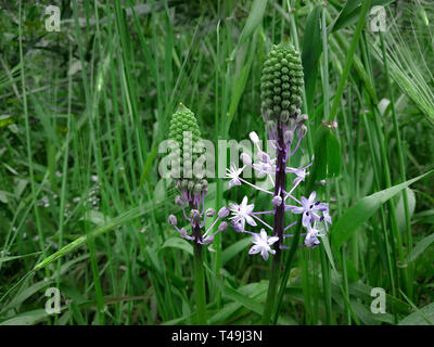 Hyacinth Squill light purple blooming flowers. Green grass landscape background. Wildflower nature field in Israel hights. Sunny weather, forest plant - Stock Photo