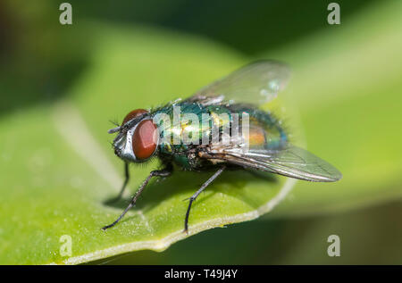 Closeup macro of a Common Green bottle Fly (Lucilia sericata, Greenbottle fly), a blow fly on a leaf in Spring in the UK. - Stock Photo