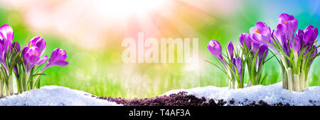 Banner Of Purple Crocuses Blooming In Garden Soil With Melting Snow And Sunshine Rays In Front Of A Green And Blue Background. - Springtime And Easter - Stock Photo
