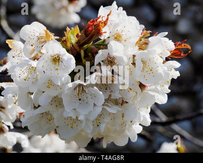 White apple blossom makes a fine display on an April day. - Stock Photo