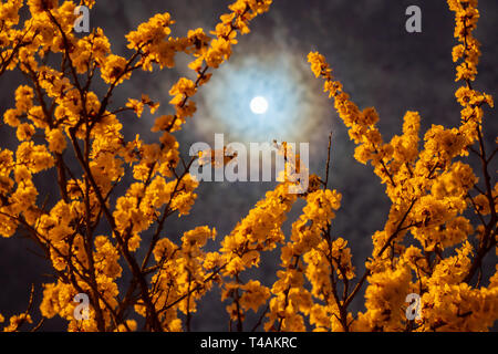 Flowering branches of apricot tree in the light of the full moon against the blue evening sky - Stock Photo