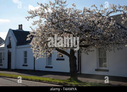 White cherry blossom flowering on West Princes Street, Helensburgh, Scotland - Stock Photo