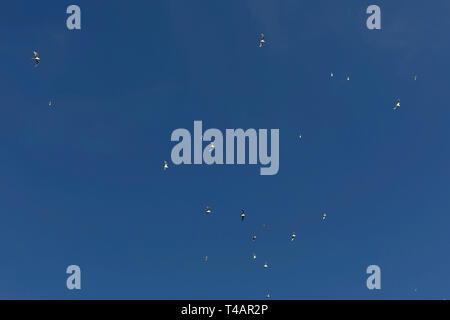 Beautiful view of seagulls flying in blue sky at sea. Birds soaring in sunny, atmospheric moment. View from ground - Stock Photo