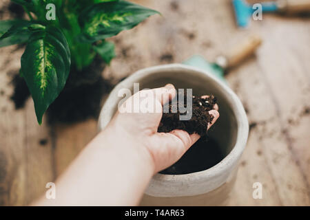 Dirty hand holding new soil at empty new pot and gardening stylish tools, green plant on wooden floor. Preparing for repotting dumbcane into new moder - Stock Photo