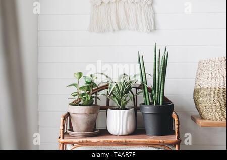 Stylish green plants in pots on wooden vintage stand on background of white rustic wall with embroidery hanging. Peperomia, sansevieria, dracaena plan