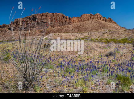 Ocotillo, Big Bend bluebonnets in bloom at River Road, Sierro de Chino cliffs, Chihuahuan Desert, Big Bend National Park, Texas, USA - Stock Photo