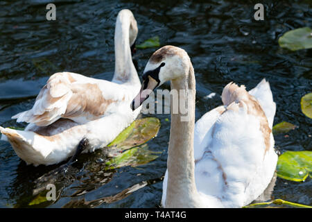 Pair of juvenile swans on Sankey Canal in Sankey Valley Park, Warrington, Cheshire, England - Stock Photo