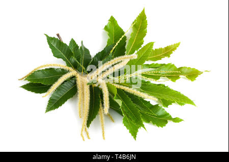 chestnut branch with flowers and leaves isolated on white - Stock Photo