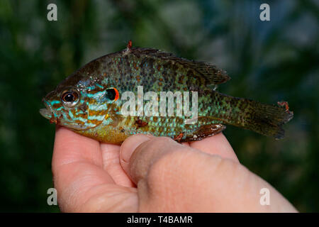 pumpkinseed, in hand, (Lepomis gibbosus) - Stock Photo