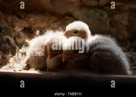 common kestrel, chicks in nest, (Falco tinnunculus) - Stock Photo