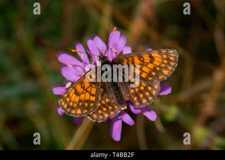 heath fritillary, (Melitaea athalia) - Stock Photo
