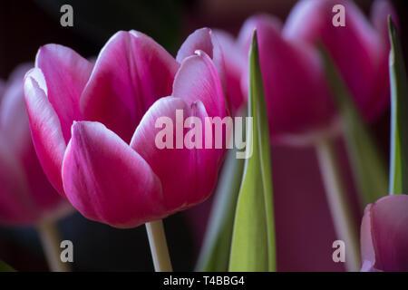 Tulpe, rosa, Tulipa - Stock Photo