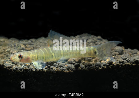 Grey banded Loach, Nemacheilus selangoricus - Stock Photo