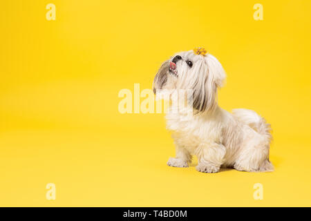 Shih-tzu puppy wearing orange bow. Cute doggy or pet is standing isolated on yellow background. The Chrysanthemum Dog. Negative space to insert your text or image. - Stock Photo