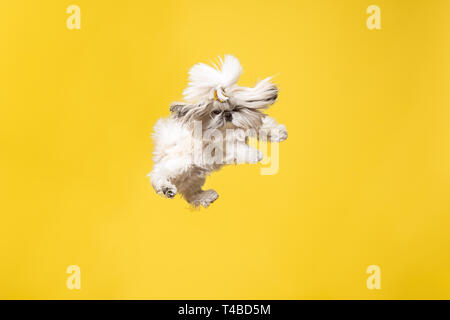 Shih-tzu puppy wearing orange bow. Cute doggy or pet is jumping isolated on yellow background. The Chrysanthemum Dog. Negative space to insert your text or image. - Stock Photo