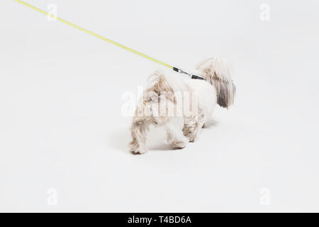 Shih-tzu puppy wearing orange bow. Cute doggy or pet is standing isolated on white background. The Chrysanthemum Dog. Negative space to insert your text or image. - Stock Photo