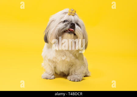 Shih-tzu puppy wearing orange bow. Cute doggy or pet is lying isolated on yellow background. The Chrysanthemum Dog. Negative space to insert your text or image. - Stock Photo