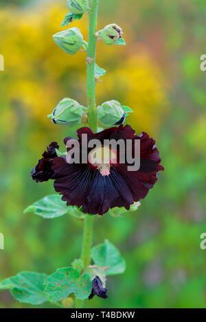 Schwarze Stockrose, Alcea rosea 'Nigra', Gewoehnliche Stockrose - Stock Photo