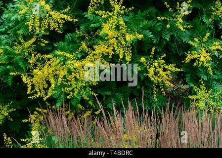 Rispiger Blasenbaum, Koelreuteria paniculata - Stock Photo